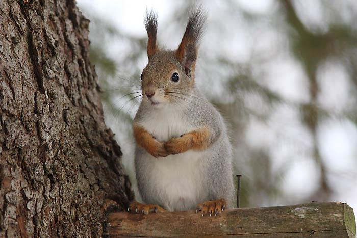 Orava Karkotin